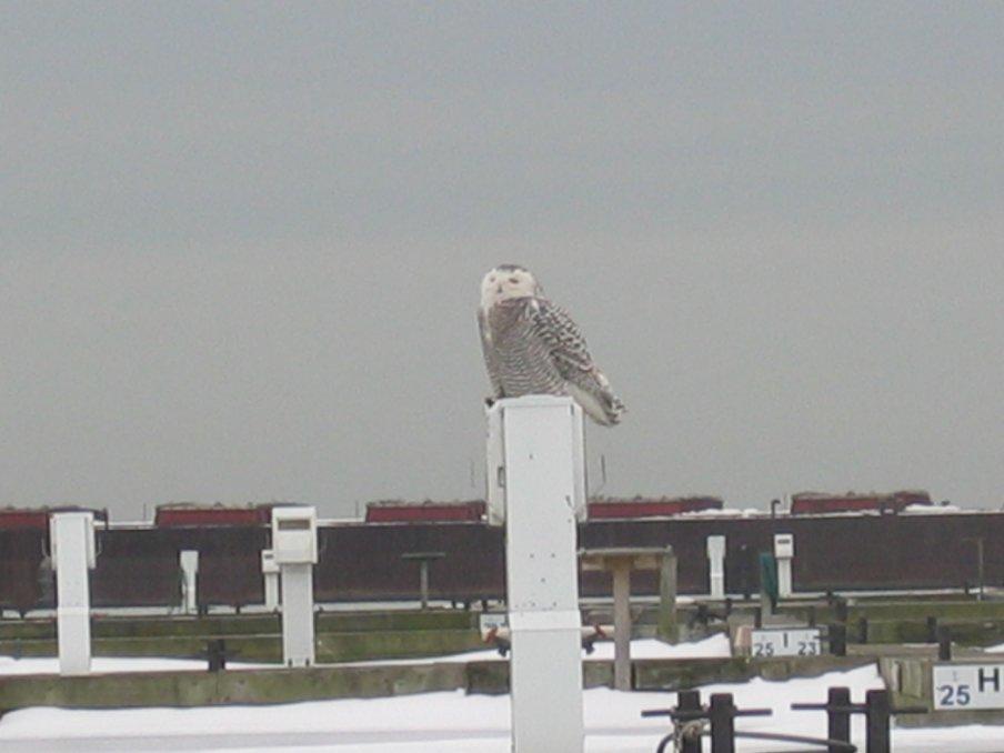 Snowy Owl 2