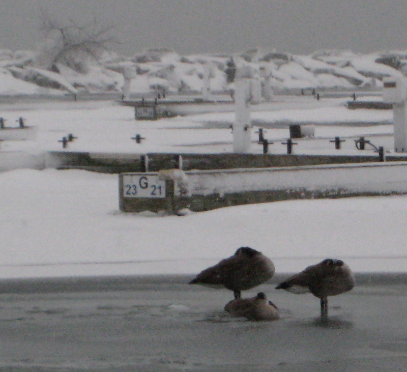 Geese stayed in bed this cold morning.
